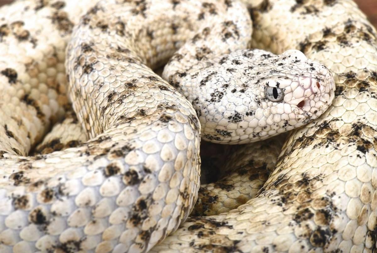 Speckled Rattlesnake (Crotalus pyrrhus)