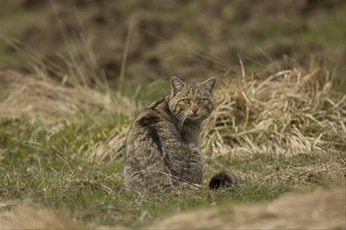 Wildcat, Navarra (Jose Ardaiz)