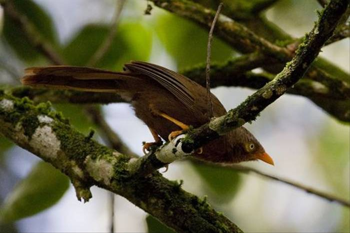 Orange-billed Babbler - endemic (Colin Brown)