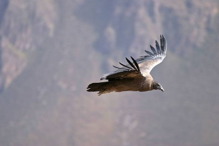 Andean Condor, Peru (Carles Fortuny).jpg