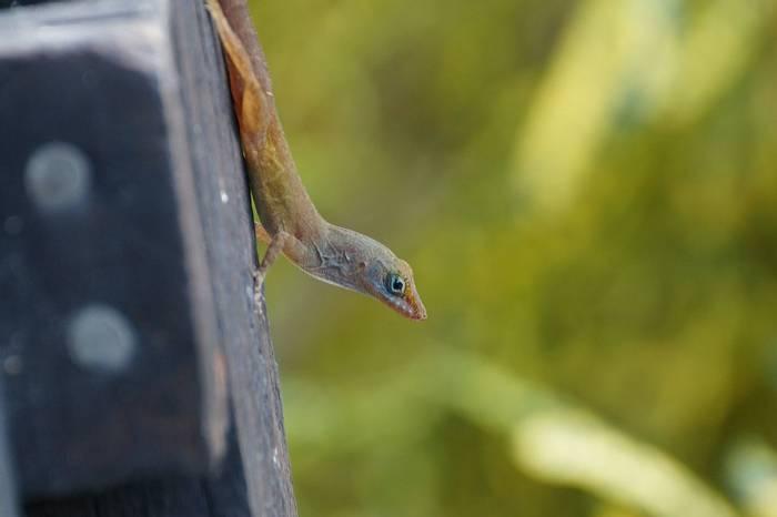 Watt's Anole Lizard (Ed Drewitt).jpeg