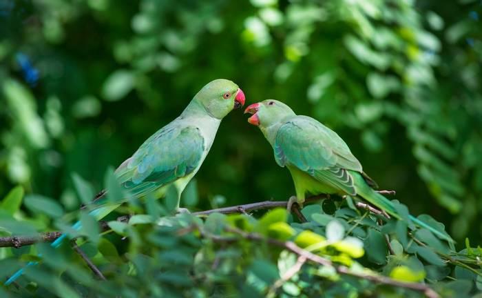 Rose-ringed Parakeet, UK shutterstock_767113651.jpg