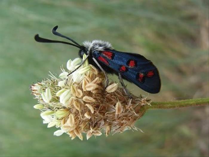 Spot Burnet Moth (Toby Abrehart)