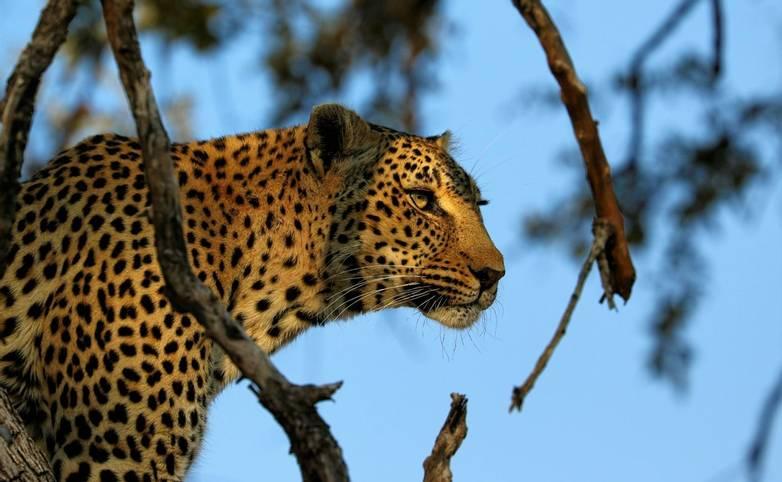Portrait of a leopard (Panthera pardus), Kruger National Park, South Africa