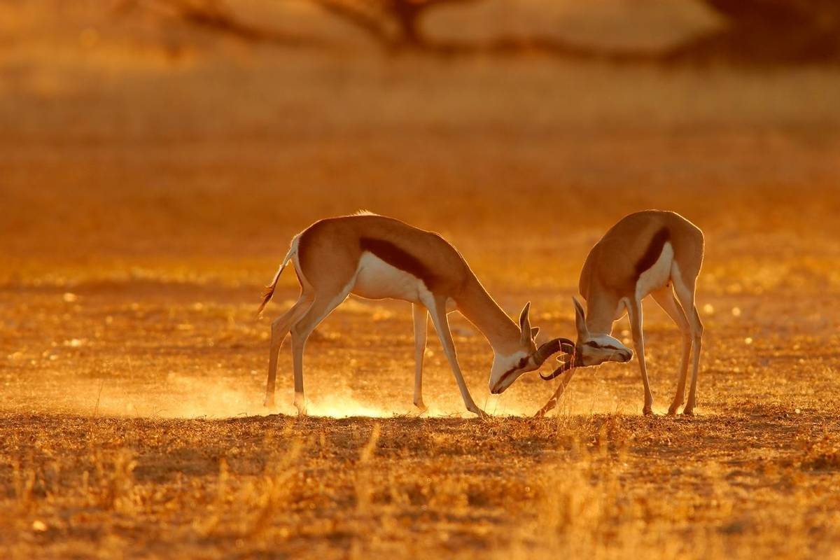 Springbok, Kalahari, South Africa Shutterstock 1605333