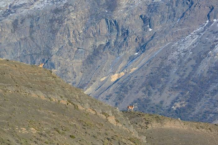 Puma & Guanaco, Torres Del Paine