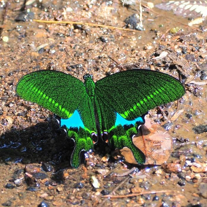paris peacock, vietnam shutterstock_1449812666.jpg