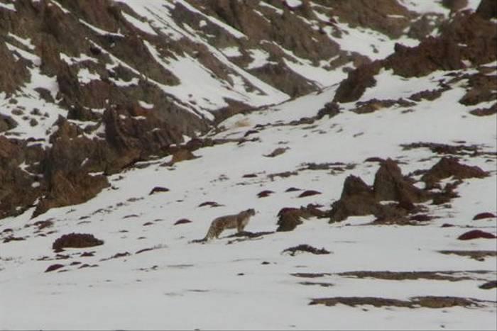 Snow Leopard (Tim Stowe)