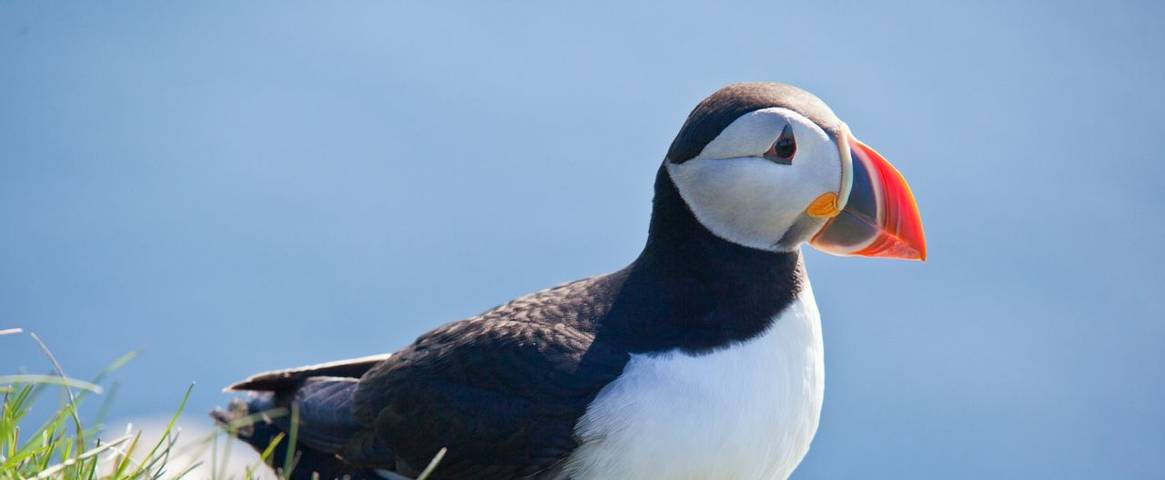 Puffins can be spotted on many parts of the British coastline