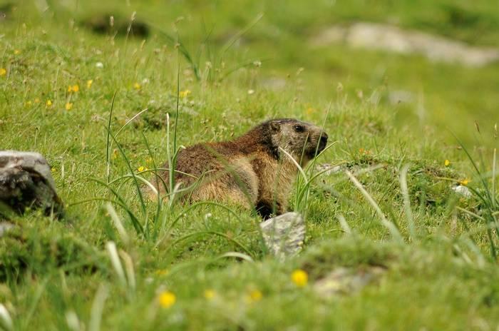 Marmot (David Morris).jpg