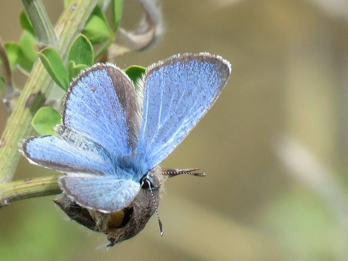 Paphos blue, nr Asprokemmos Reservoir (Heather Osborne)