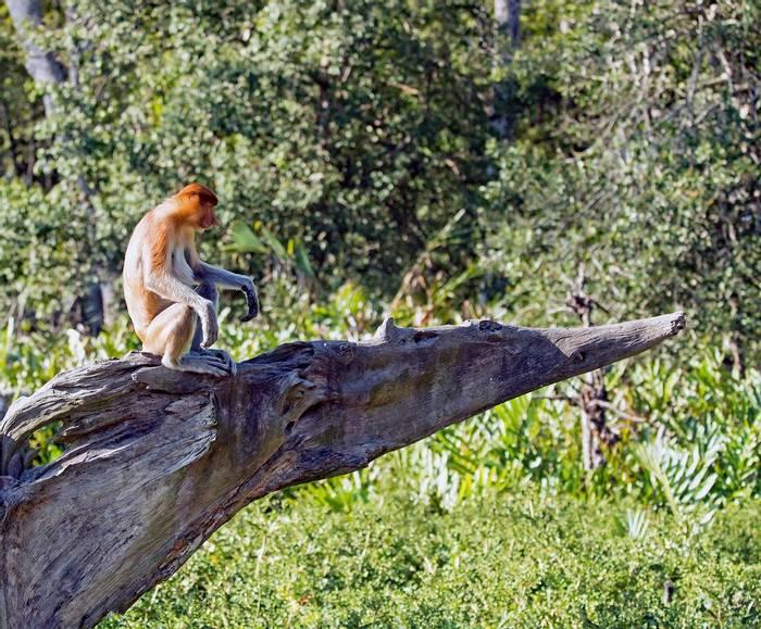 Proboscis Monkey (Clive Turnbull)