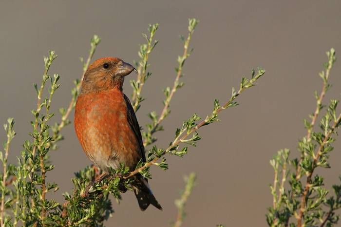 Common Crossbill.