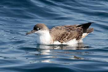 Great Shearwater (John Willsher)
