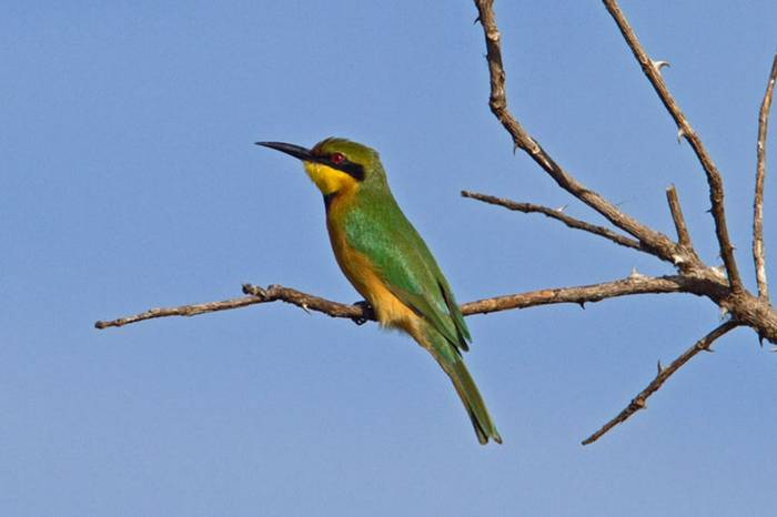 Little Bee Eater Gambia 11.10   1
