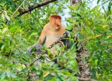 Borneo's Rainforest Mammals