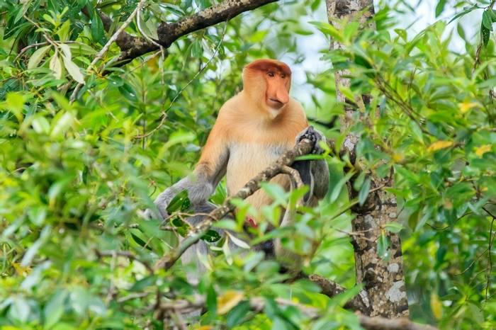 Proboscis Monkey Borneo Shutterstock 631755140