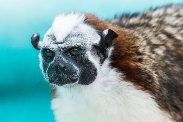 Geoffroys Tamarin Monkey (Ian Talboys)