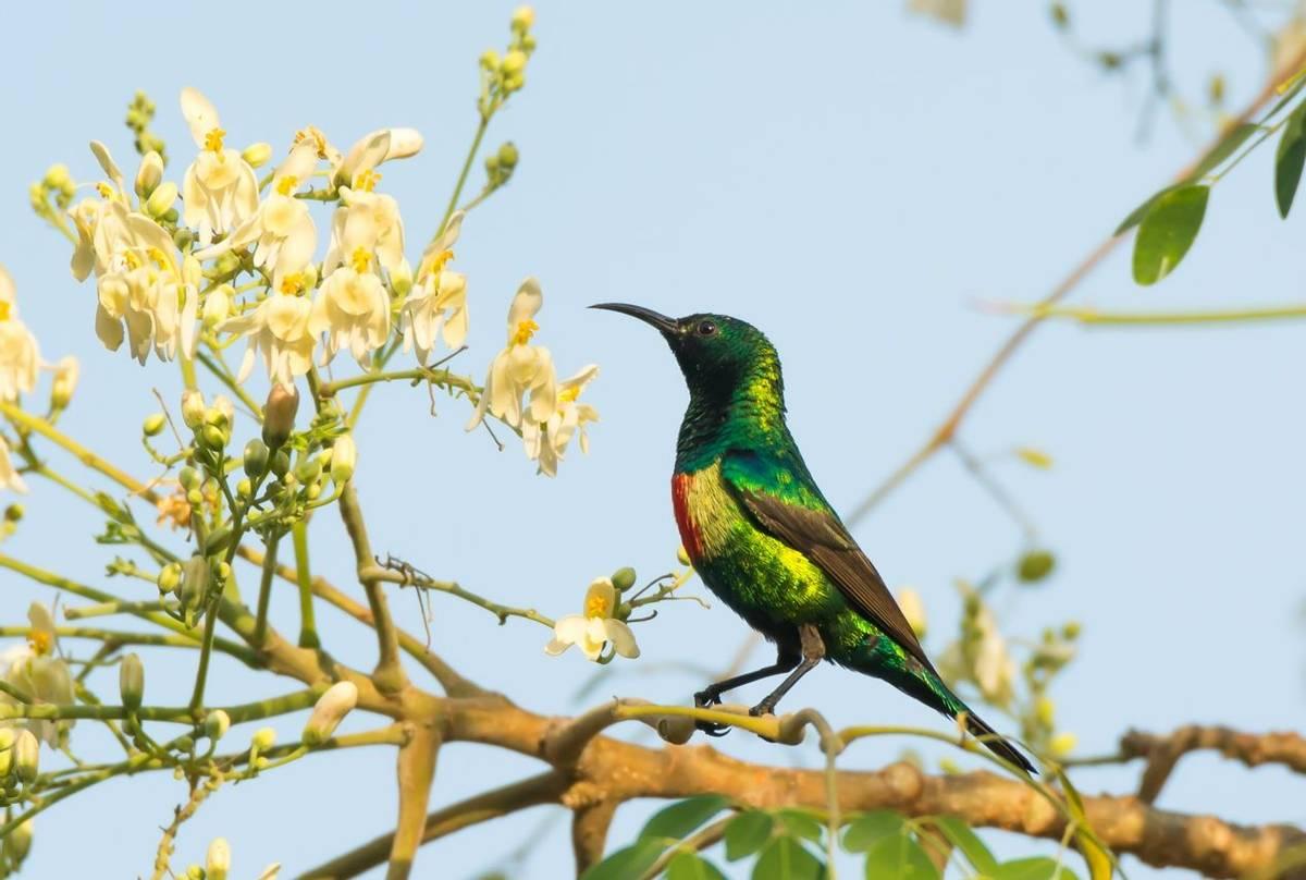 Male Beautiful Sunbird (Dave Montrevil)