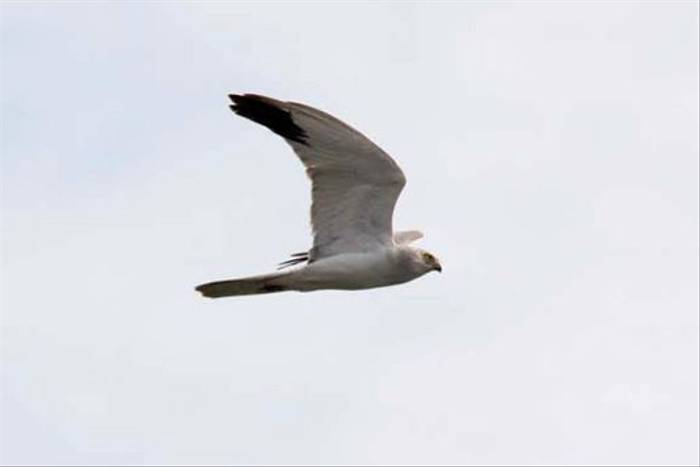 Pallid Harrier (Alan Outen)