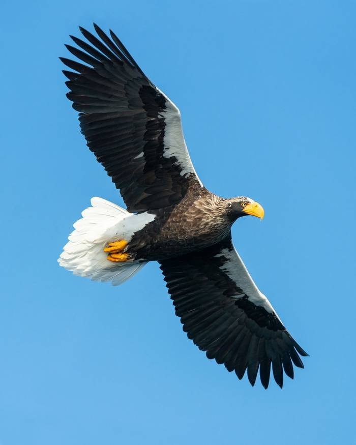 Steller's Sea Eagle shutterstock_1229922820.jpg